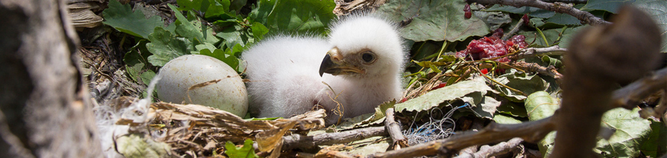 Imperial eagle chick and egg (Photo: Márton Horváth)
